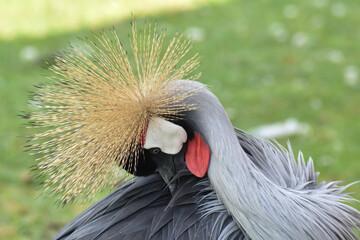 Kolorowy ptak Koronnik szary na zielonej trawie.