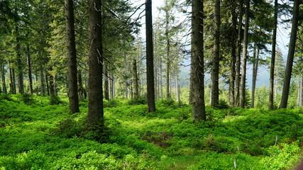 Obraz zielony las iglasty z jagodami - fototapety do salonu