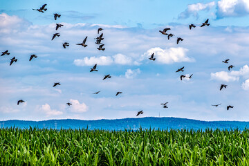 Agricultural landscape - Wild pigeons flying over the corn field.