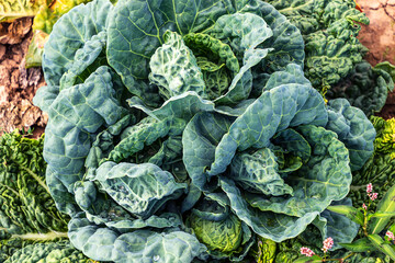 Vegetable background - Beautiful blue and green savoy cabbage head growing in a field in midsummer.