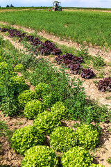 Organic vegetable field - Rows of growing lettuce and fennel plants in midsummer.