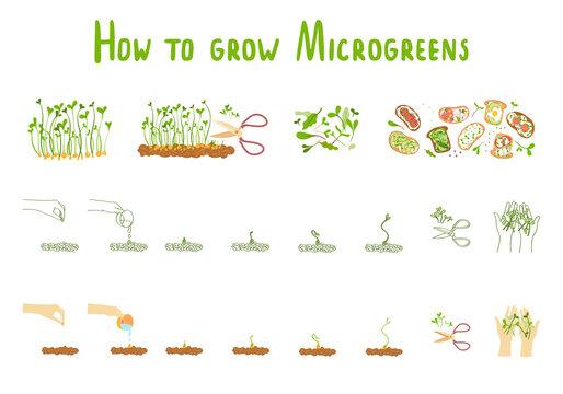 Microgreens. Germination microgreen. Healthly food
