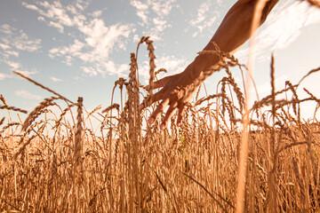 Foto op Canvas Ree Weizenfeld im Sommer