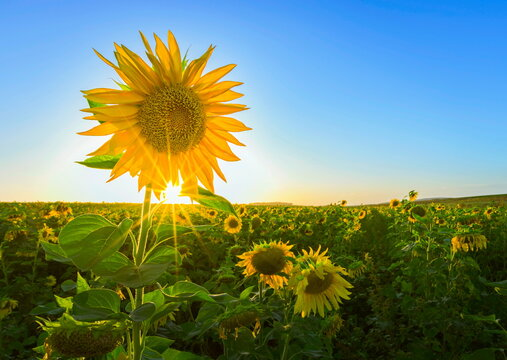 One of a kind: beautiful fresh sunflower standing tall with sunburst through its petals, in the field of bent and drying sunflowers - symbolic of strength, perseverance and hope; Ayalon Valley, Israel