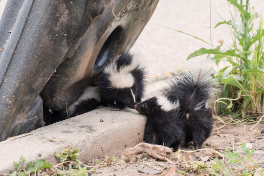 Cute baby skunks