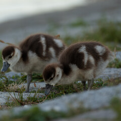 Baby ducks by the lake - 2