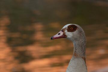 close up of a goose