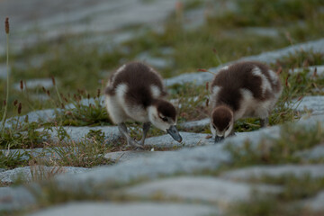 Baby ducks by the lake - 1