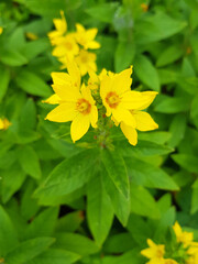 dotted loosestrife also garden loosestrife (in german Acker-Kratzdistel also Ackerdistel) Lysimachia punctata