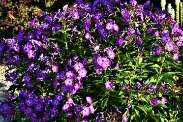 Obraz Kwiat goździk - fototapety do salonu