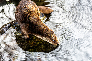 European Otter (Lutra lutra) on a pond, Tyrol, Austria