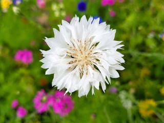 bluebottle also cornflower (in german Kornblume also Zyane) Cyanus segetum also Centaurea cyanus