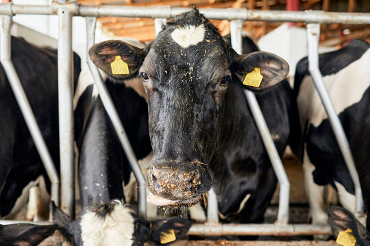 Close-up of black cow standing in pen at dairy farm
