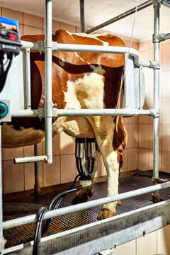 Cattle with milking machine standing in dairy farm