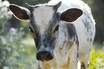 Wall Mural - portrait of a Brahman crossbred young cow closeup, white and blue roan beef calf on farm.