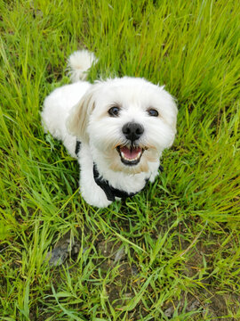 white little dog in a green grass