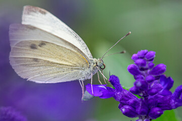 Close-up of a white butterfly on a purple flower