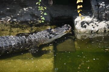 Wall Murals Crocodile Krokodil und Schildkröten