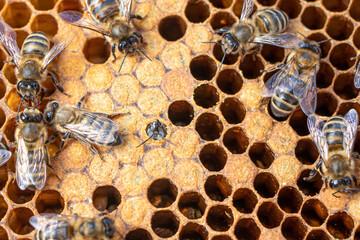 Printed kitchen splashbacks Bee Bee brood on honeycombs. Hatching young bees, pupae, larvae, bee eggs.