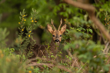 Male roe deer (Capreolus capreolus) watching curious. Roe buck in national park Veluwezoom in the netherlands