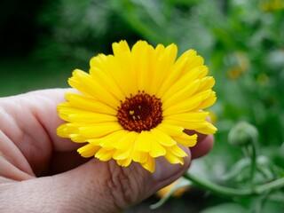 Ringelblumenblüte, gelbe Blume in Hand, Calendula