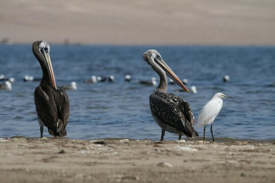 Peruvian Pelicans at Paracas Peninsula, Peru
