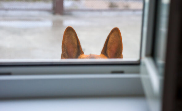 Dog ears - the dog listens to what is happening.