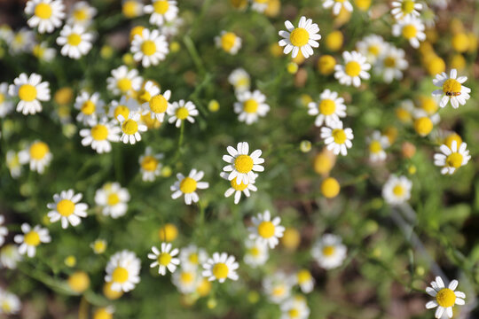 Many Tiny Yellow and White Daisy Flowers of the Roman Chamomile Herb Plant