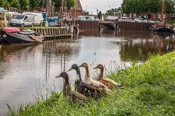 Vier Enten schauen auf den Hafen von Carolinensiel