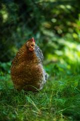 Bielefelder hen in nature background