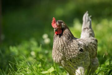 Araucana hen in a summer meadow