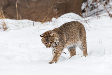 Wall Mural - Bobcat (Lynx rufus) Puts Paw Down in Snow Winter