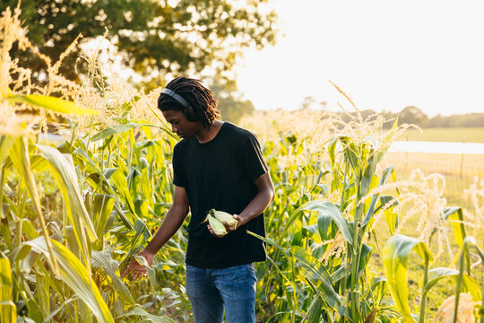 Young man picking up corn from field