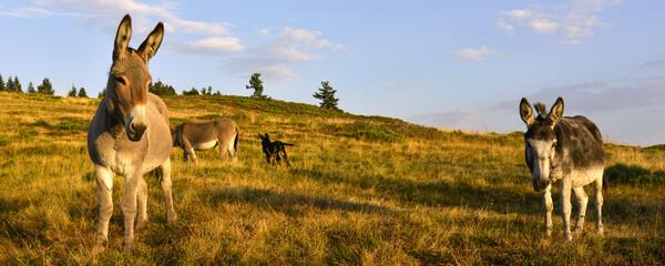Fototapeta Panoramique deux ânes en prairie au soleil couchant, Ardèche en Auvergne-Rhône-Alpes France
