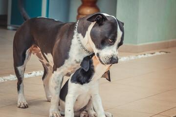 Pitbull brincando com o filhote