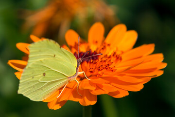 Lemon butterfly on a calendula orange flower close-up