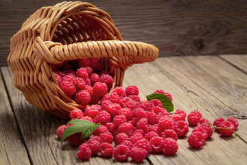 Ripe forest raspberries scattered from a small basket on a wooden table