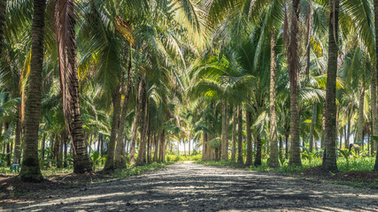 Calmness and shady in greenery coconut grove