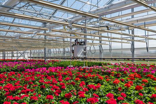 Blühende Pelargonien - Geranien Jungpflanzen in einem Gewächshaus