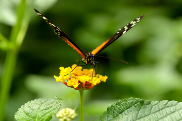 Macro of  Tiger Longwing (Heliconius hecale) butterfly feeding on yellow flower (Lantana camara) seen from front