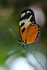 Tiger Longwing butterfly (Heliconius hecale) on stamen and seen from profile
