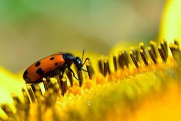 Macro Mylabris quadripunctata feeding on a sunflower and seen from profile