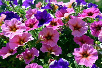 Background of blooming red and blue petunia surfinia flowers