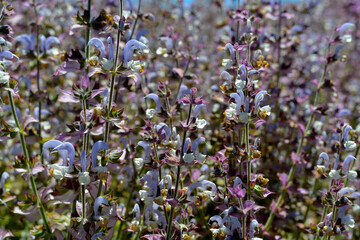 Closeup of Clary sage (Salvia sclarea) on the famous Valensole plateau, a commune in the Alpes-de-Haute-Provence department in southeastern France