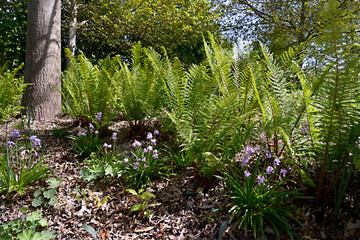 Ferns and common bluebells (Hyacinthoides)  in the forest