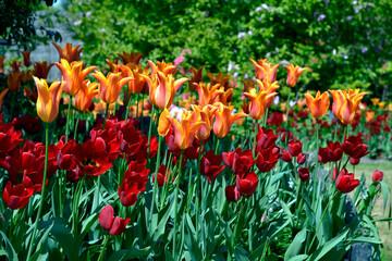 closeup red and orange tulips (Tulipa)