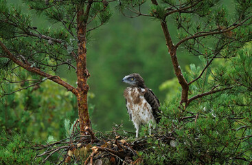 A snake eagle chick is seen on its nest near the village of Yanovichi