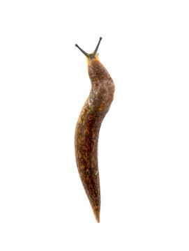 Semi-slugs isolated on white background.