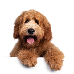 Wall Mural - Cute red / abricot Australian Cobberdog / Labradoodle dog pup, laying down facing front. Mouth open, pink tongue out. Isolated on white background. Paws hanging over edge.