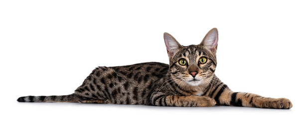 Wall Mural - Cute young Savannah F7 cat, Laying side ways. Looking at camera with green / yellow eyes. Isolated on a white background.